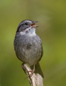 A swamp sparrow states his case: According to Duke University biologist Steve Nowicki, birdsong and signaling have a surprisingly close relationship with human speech. PHOTOS BY ROB LACHLAN